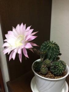 サボテン サボテンの花