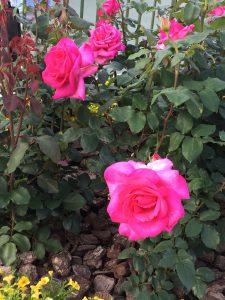 ラヴァーレ ブログ アロマ バラ ROSE TDL ディズニーランド イースター ミッキー ドナルド