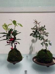 yuica lavare 高山 盆栽 オークヴィレジ
