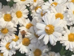 菊 ミツバチ 花粉